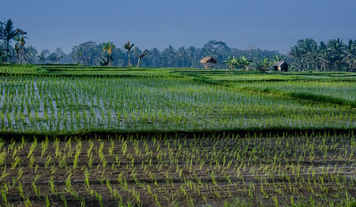 Rice paddies, Bali, Indonesia