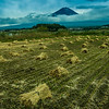 Rice harvest, Mt. Fuji, Japan