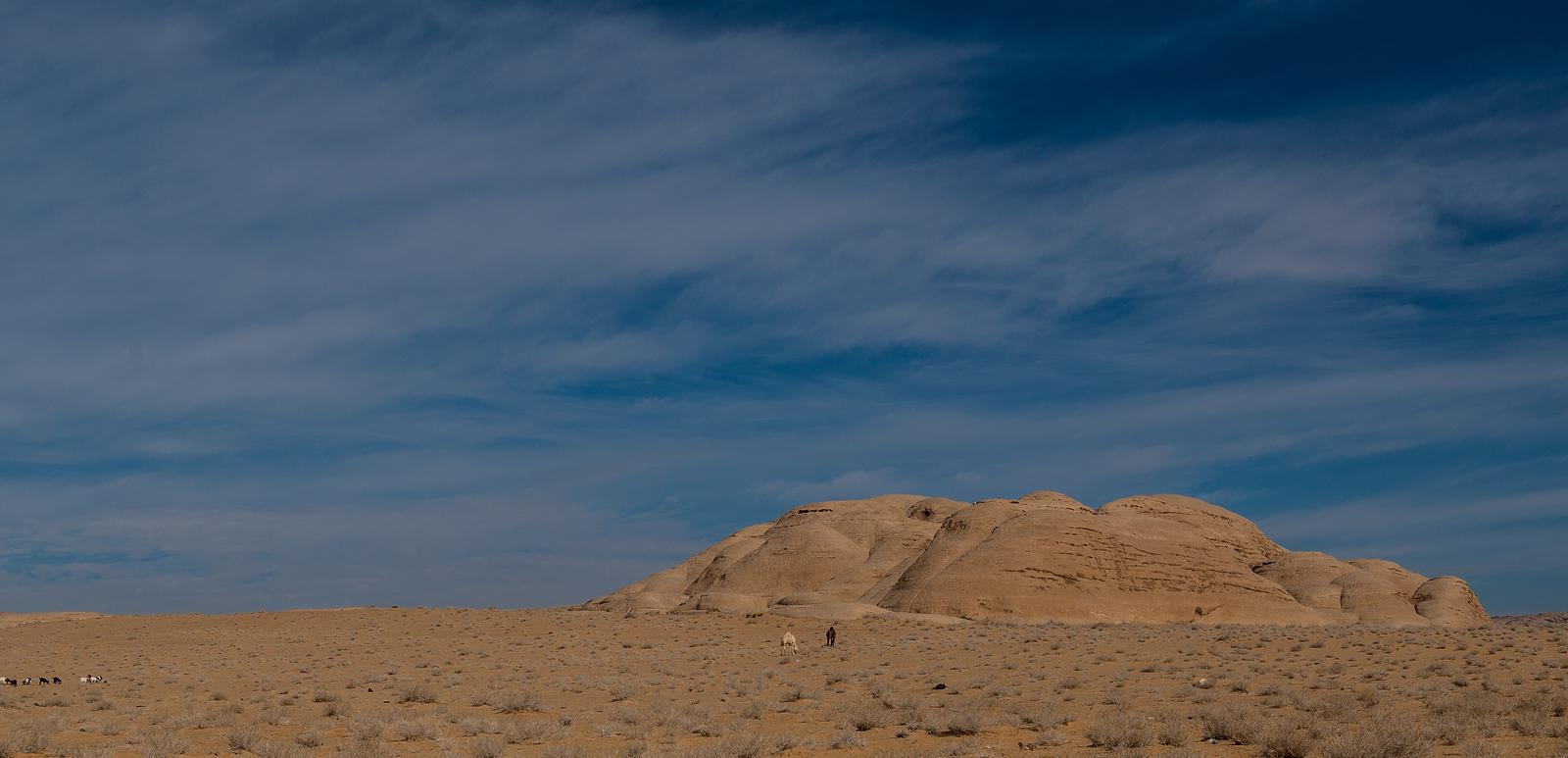 Camels in the desert, Jordan