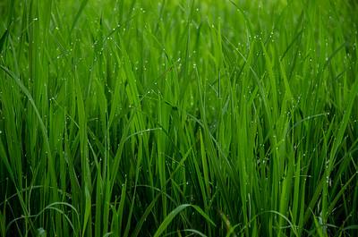 Rice Paddy, Ubud, Bali