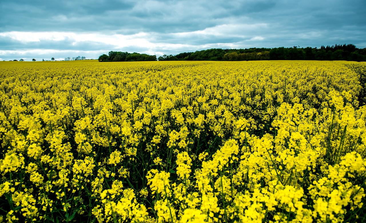 Rapeseed Field, Jutland, Denmark