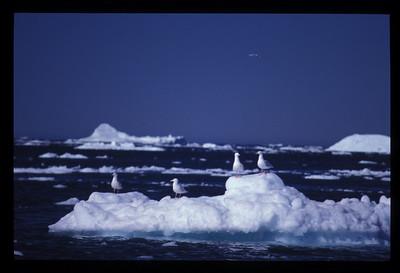 Seagulls on iceberg, Greenland.