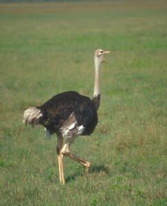 Ostrich, Ngorongoro Crater, Tanzania.