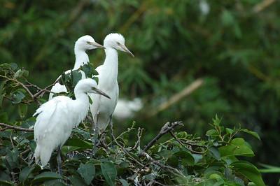 Birds, Mekong delta, Vietnam.