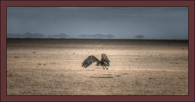 Vulture gets airborne, Amboseli National Park, Kenya.