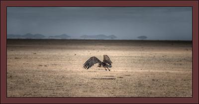 Vulture gets airborne, Amboseli National Park, Kenya.