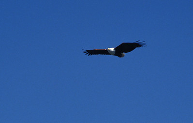 Fish eagle, Okavango delta region of Botswana.
