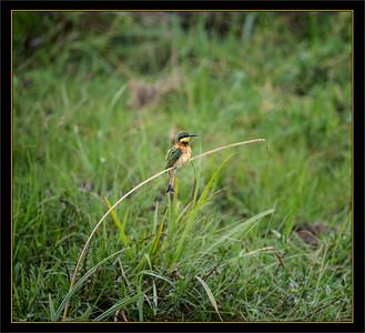 Bee Eater, Amboseli National Park, Kenya.