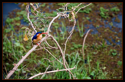 Kingfisher, Amboseli National Park, Kenya.