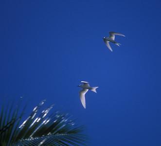 Seagulls, Rarotonga, Cook Islands.