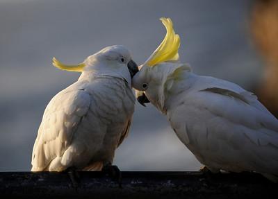 Cockatoos, New South Wales, Australia.
