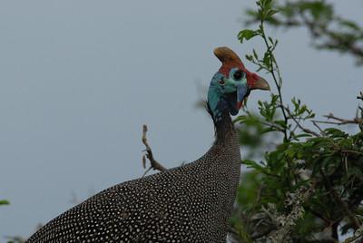 Guinea fowl, Thula Thula Royal Zulu Game Reserve, Kwa-Zulu Natal, South Africa.
