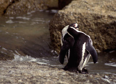 Romantic penguins at the Boulders Penguin Colony, South Africa.