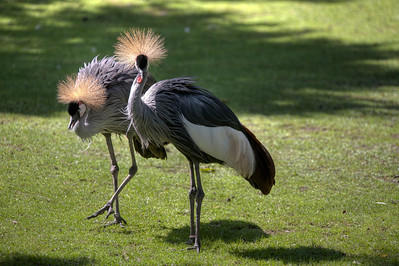 Crowned Crane, Tierpark Hellabrunn, Munich, Germany.