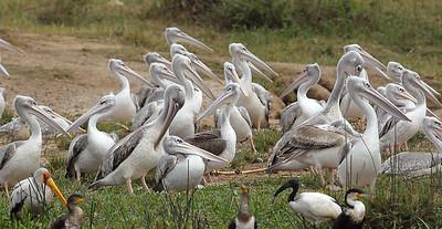 Birdlife, Kazinga Channel, Uganda.