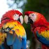 Parrots, Antigua, Guatemala.