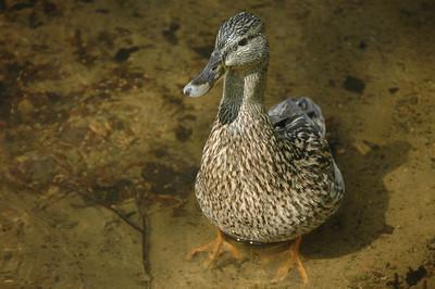 Finnish duck.