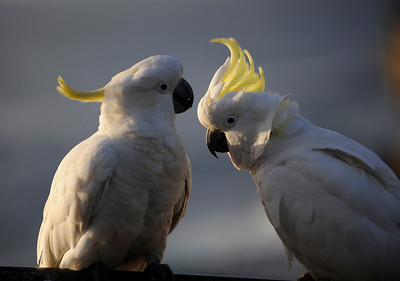Cockatoos, New South Wales, Australia.