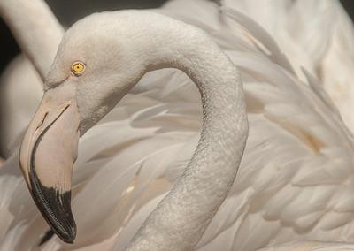 Flamingo, Tierpark Hellabrunn, Munich, Germany.