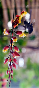 Hummingbird and flowers, Lake Atitlan, Guatemala.