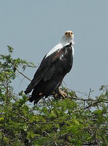 Fish eagle near Lake George, Uganda.