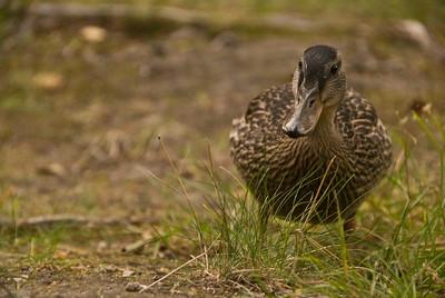 Duck, Finland.