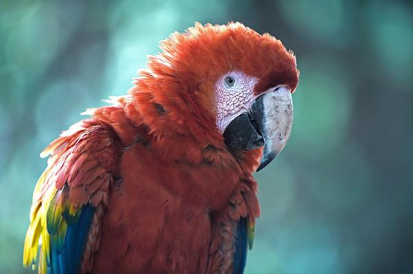 Parrot, Antigua, Guatemala.