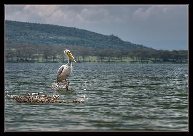 Pelican, Lake Oloiden, Kenya.