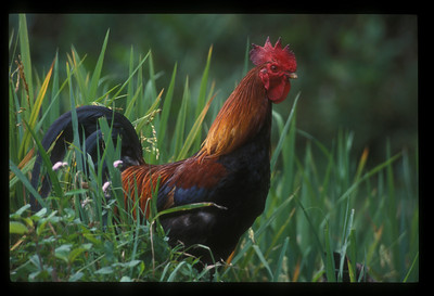 Rooster, mountains of northern Vietnam.