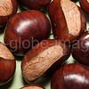 Sweet Chesnut