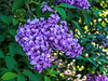Lovely lilac blooms
