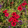 Red and purple - common fall color combination in the garden