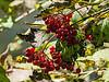 Fall Fruit.  Highbush Cranberry Berries