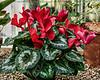 Red cyclamen, cultivar unknown