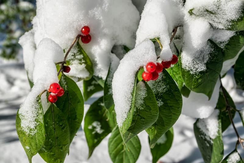 Honeysuckle berries in snow
