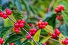 Featured:  Beautiful, but...Asian honeysuckle berries