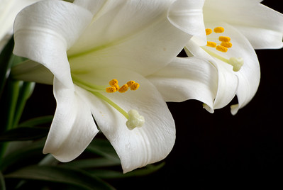 White;Lily