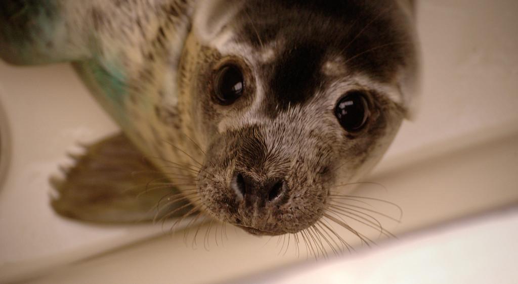 Grey Seal no. 2
