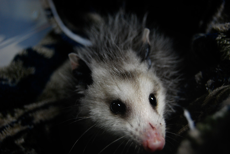 Sneezy the Opossum