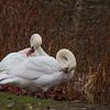 © 2014 Steve Schroeder - Swans preening
