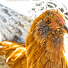 © 2014 Myrna Walsh - Orange Hen