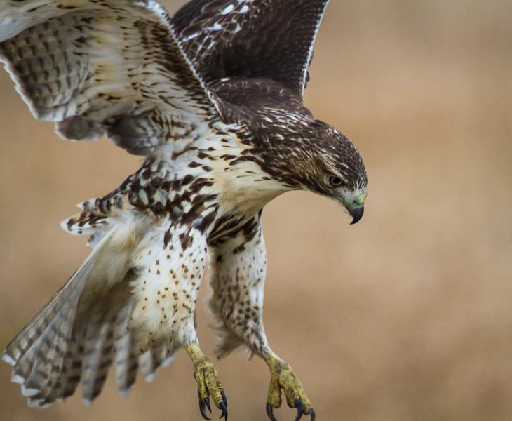 © 2014 Steve Schroeder - Intent hawk