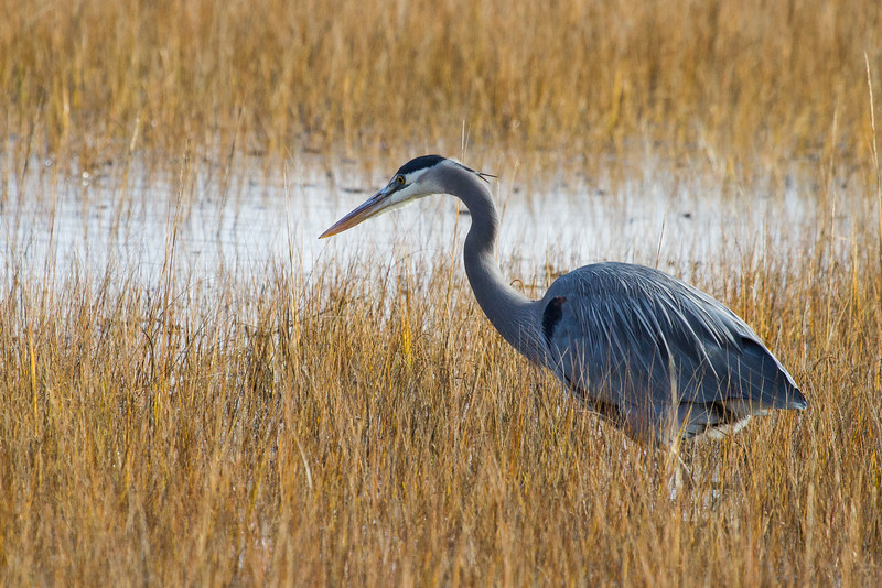 © 2014 Steve Schroeder - Great Blue Heron in the marsh