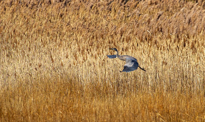 © 2019 Steve Schroeder - Great Blue Heron