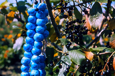 In the fall of 1970, shortly after being reinfected with the photography virus, I gathered my mother's blue Persian prayer beads, loaded my father's old 35m Signet Rangefinder camera with 64 ASA Ektachrome slide film, and headed outside to photograph this still life in our Edmonton Alberta backyard. It surprises me that I can remember so many details about an image I snapped over fifty years ago.  I always liked the colors in the resulting slide, and as I kept coming across it in my slide boxes, I would pause and admire it. A few years ago, I scanned it with my trusty Nikon film scanner and saved the scan file in my ever-expanding image directories. Today, while playing with the latest version of Darktable I wondered how well Darktable would handle a standard 16bit TIF. Darktable is used to develop RAW files; it's not geared to TIFs. Out of curiosity: I loaded this image, applied some adjustments, and decided I liked what popped out.