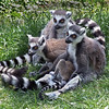 Ring-Tailed Lemurs by John Brooks