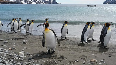 King Penguins in promenade