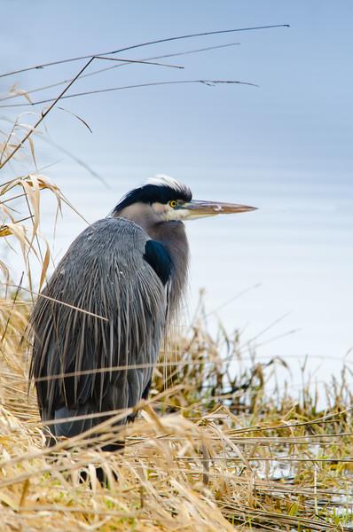 Blue Heron. Surrey, B.C.