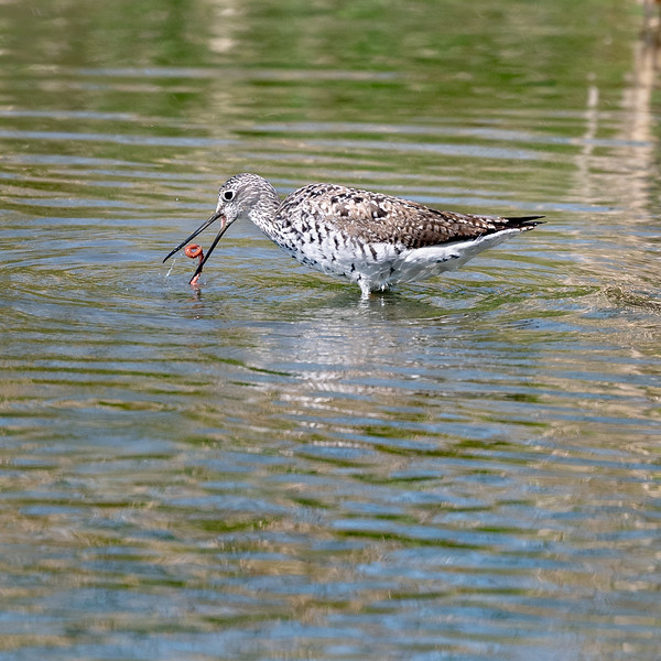 Greater Yellow Legs - Lunchtime