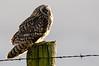 Short-Eared Owl. Delta, B.C.